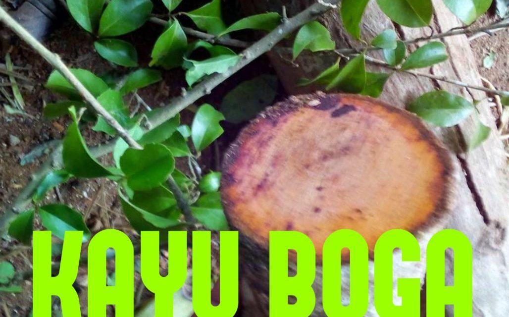 Kayu Berkhasiat: Pohon Boga